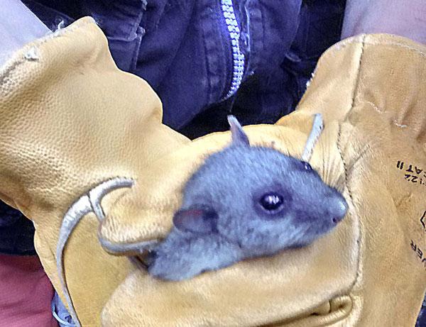 foto-rata-esquirolera-còpia-2